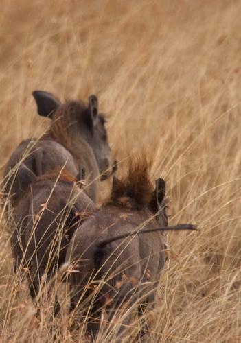 Warthog in Serengeti National Park
